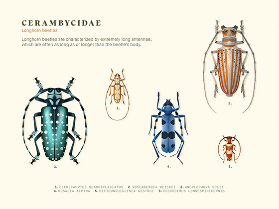 Coleoptera · Beetle illustrati